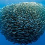 Les Sardines, puisque elles nagent en mer ouverte, ne connaissent pas de frontières.
